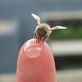 手乗りミツバチ.jpg