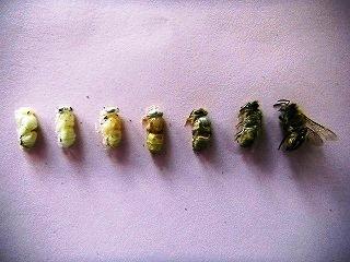 蛹の成長過程.jpg