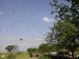 群飛するセイヨウミツバチ